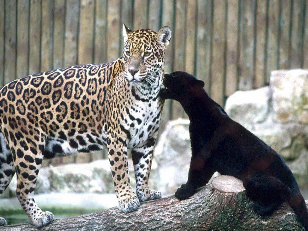 leopard9gd.jpg