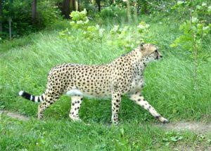 guepard2.jpg