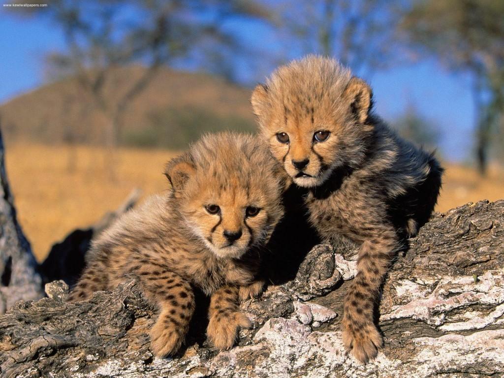 fond-ecran-animaux-guepards-010