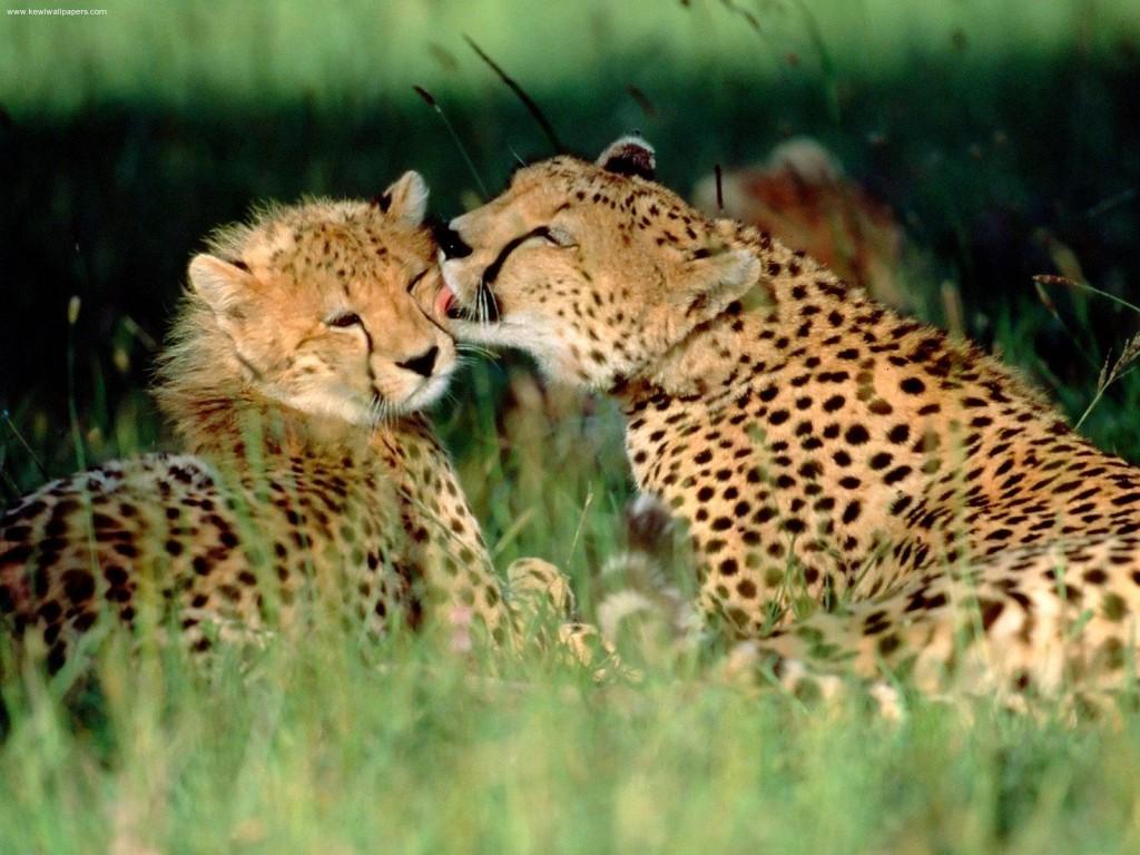 fond-ecran-animaux-guepards-016 dans ANIMAUX