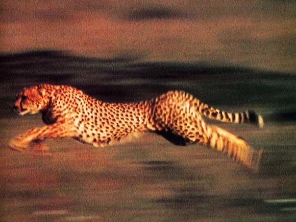 CHEETAH LA BELLE  ( guépards) dans ANIMAUX guepard_3