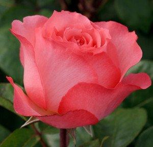 rose-2